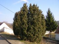 (Juniperus communis) Jalovec obecný