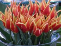 Tulipa  'Aladdins Record' - Tulpe