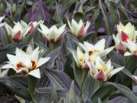 Tulipa 'China Lady'  Tulpe Pflanze