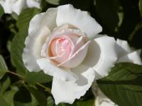 Rosa     'New Dawn'  Rose Blüten