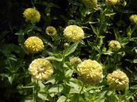 Zinnia elegans 'Giant Lime'  Zinnie Pflanze