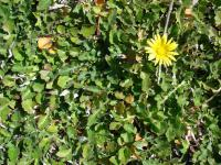 Plain Treasureflower (Arctotheca calendula)