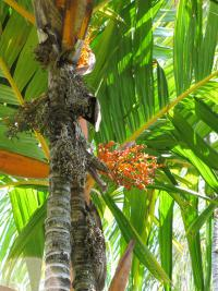 Orange crownshaft palm - trunk, fruit and leaves (Areca vestiaria)