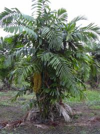 (Arenga tremula) Philippine Dwarf Sugar Palm - habit