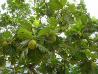 Breadfruit Tree - fruit and leaves (Artocarpus altilis)