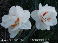 Narcissus  'Acropolis' - Narzisse