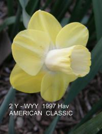 Narcissus  'American Classic' - Narzisse