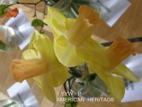 Narcissus  'American Heritage' - Narzisse