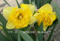 Narcissus  'Apache Blanket' - Narzisse