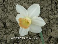 Narcissus   'Apropos' - Narzisse