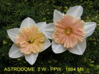 Narcissus  'Astrodome' - Narzisse