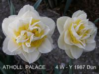 Narcissus 'Atholl Palace'  Narzisse Blüten
