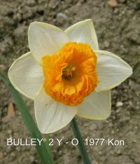 Narcissus 'Bulley'  Narzisse Blüten