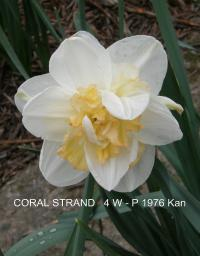 Narcissus 'Coral Strand'  Narzisse Blüten
