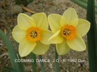 (Narcissus x hybridus) Narcis Cosming Dance