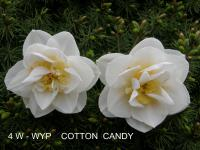 Narcissus  'Cotton Candy' - Narzisse