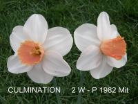 (Narcissus x hybridus) Narcis Culmination