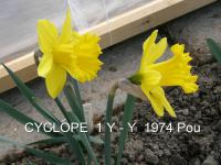 (Narcissus x hybridus) Narcis Cyclope