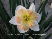 (Narcissus x hybridus) Narcis Delta Force