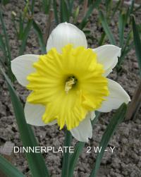 Narzisse Narcissus  'Dinnerplate'