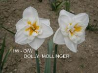 (Narcissus x hybridus) Narcis Dolly Mollinger