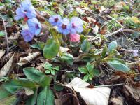 Miodunka plamista (Pulmonaria officinalis)