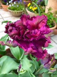 Tulpe Tulipa  'Green Wave'